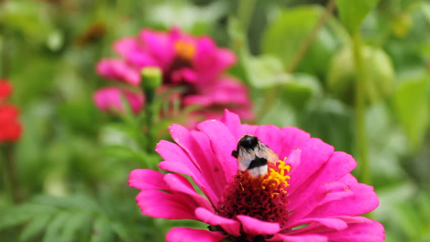 bumblebee (Bombus) on pink flower in garden, close-up