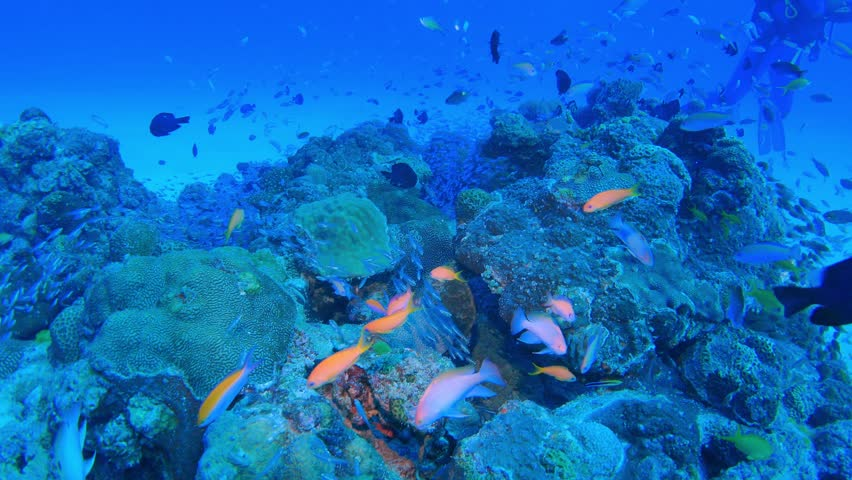 4K footage - Underwater Scene. Coral Reef Colorful Fish Groups in Okinawa, Japan.
