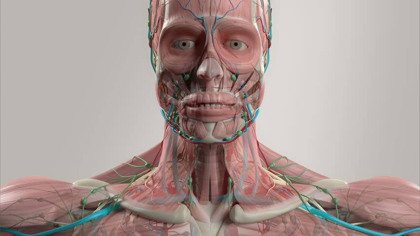 human anatomy animation. rotating view showing head and torso view, Muscles