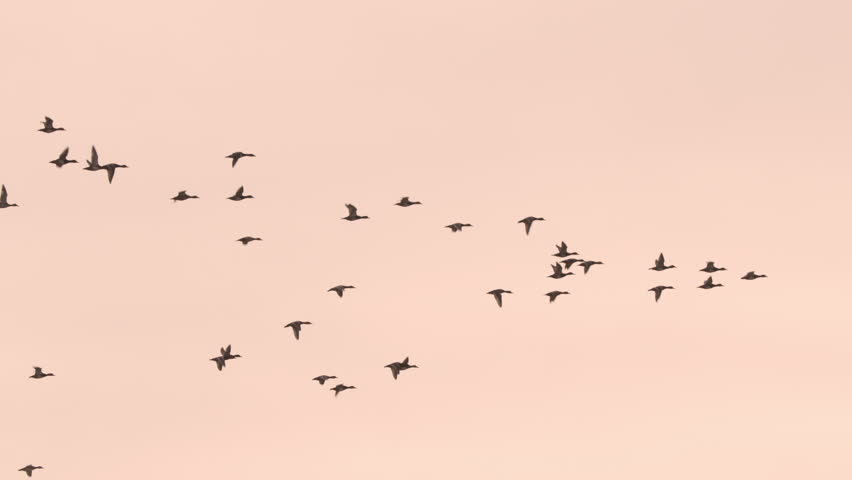 Beautiful flock of geese flying in slow motion at sunset