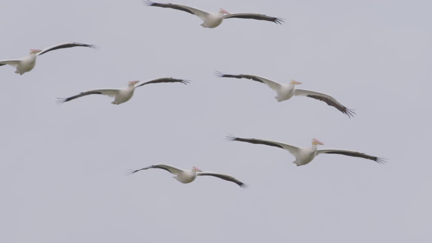 Nice group of six white pelicans soaring together in formation in slow motion