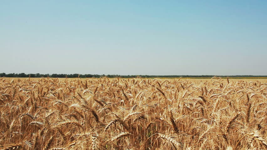 Golden wheat ready to be harvested