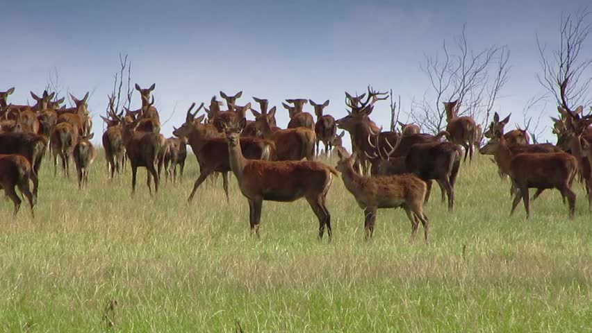 some deer  #13027823