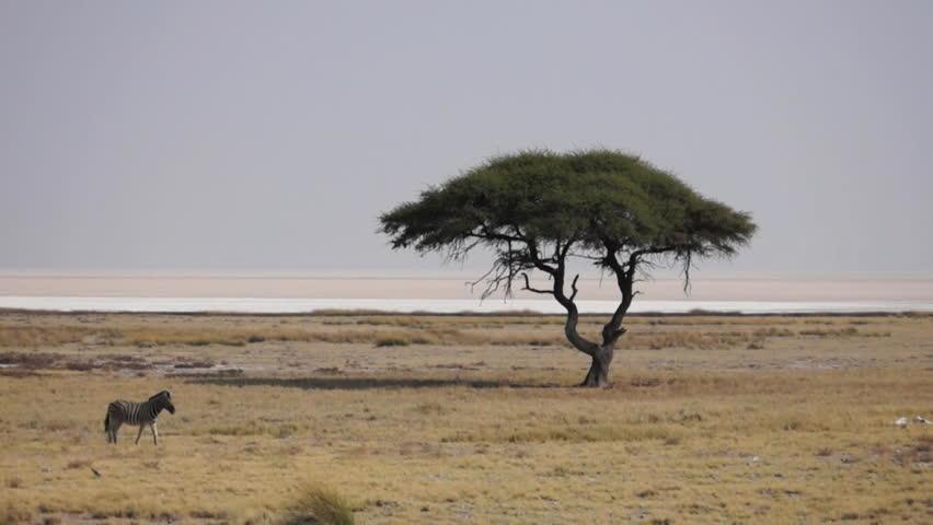 Zebras passing a Tree - Etosha National Park - Wildlife from Namibia | Shutterstock HD Video #13035455