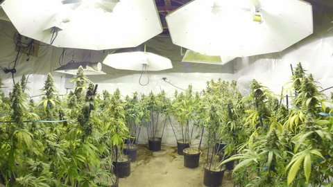 Steadicam Motion Through Marijuana Plants with Buds at Indoor Cannabis Farm