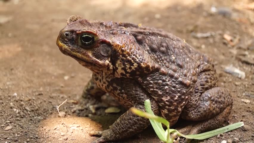 poisonous brown toad on dry soil in the open