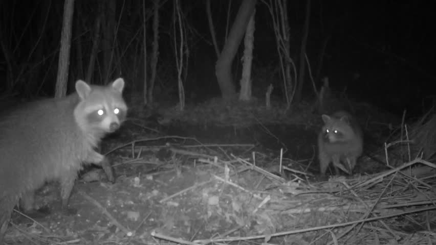 Raccoons (Procyon lotor)  feeding at night in a south Georgia swamp.
