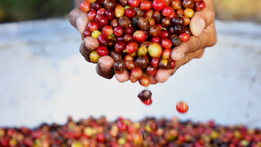 Raw coffee bean on hands,Slow motion
