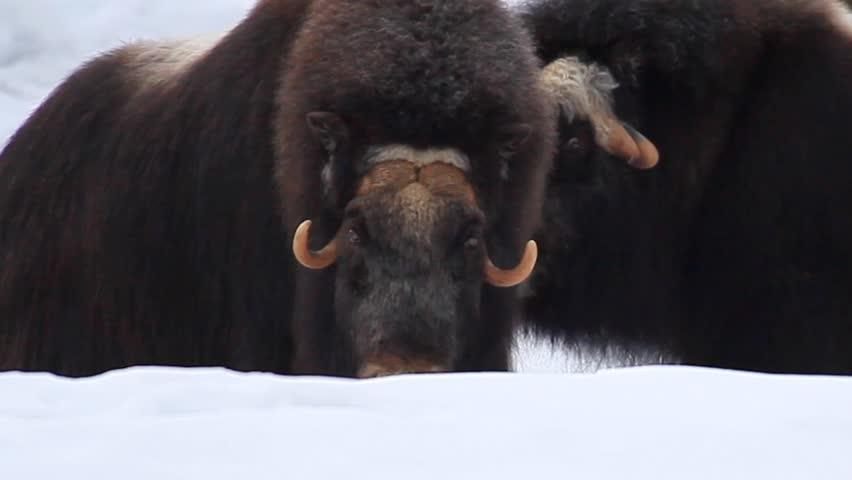 Header of ox