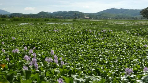 Huge field being populated by invasive species - eichhornia crassipes, attractive flowers on foreground, wide view. Pulau Langkawi island country area, rural fields.