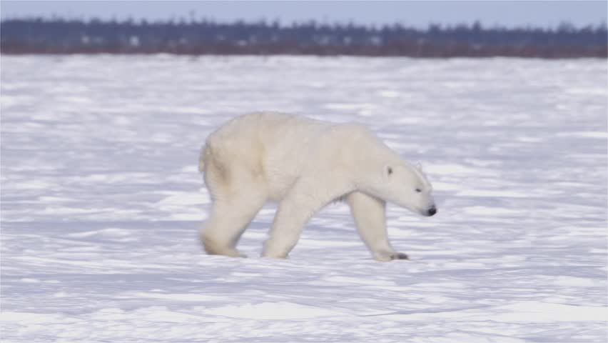 Polar Bear Walking Through The Arctic v.1-5