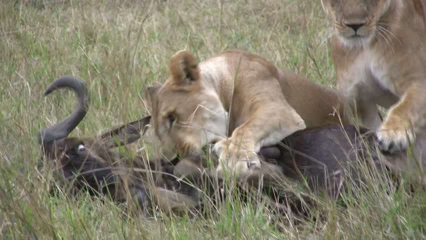 A lioness killing her prey