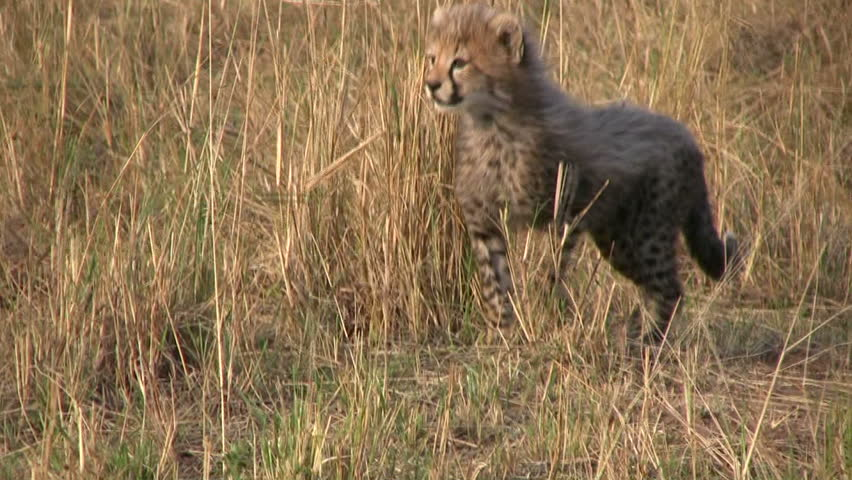 cheetah cub learning to stalk