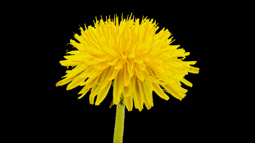 Dandelion flower timelapse isolated, encoded with photo png, transparent background/Dandelion flower cut out timelapse #13464521