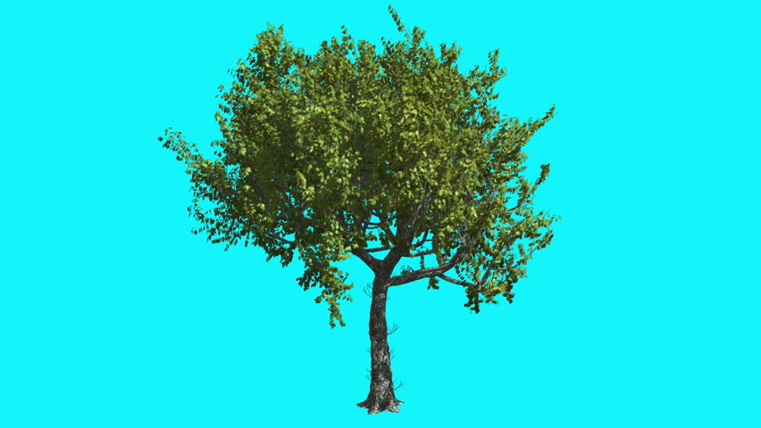 Red Oak Thin Tree with Green Leaves on Chroma Key, Tree on Alfa Channel, Tree on Blue Screen, Crown with Leaves is Swaying at the Wind in summer, Computer Generated Animation Made in Studio