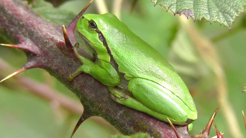Tree frog - young animal
