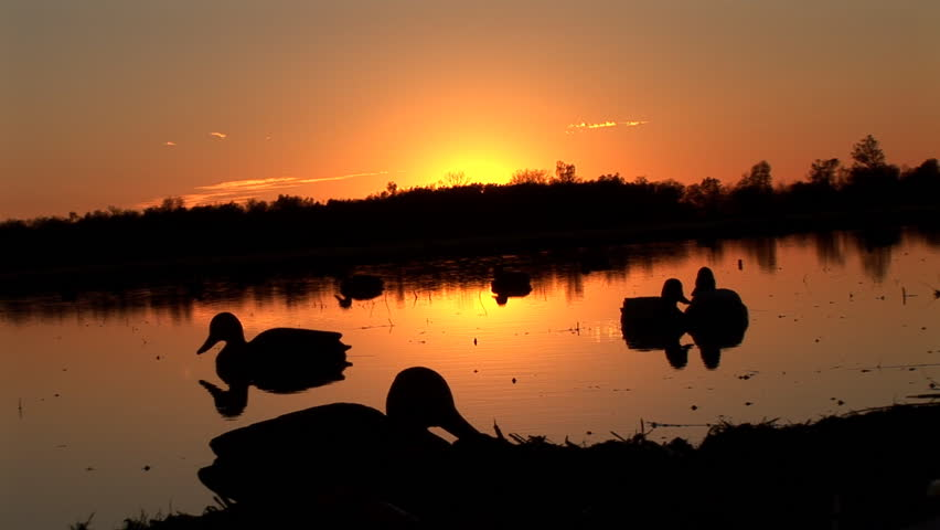 Mallard Ducks (Anas platyrhynchos) are a common sport hunting species that migrate across North America from Alaska in the summer to Florida in the winter. Ducks rising over decoys at sunrise.
