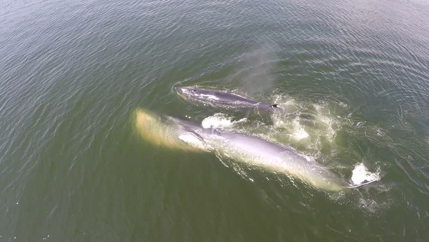 Aerial view of two Bryde's whale and whale spout water, Eden's whale in gulf Thailand.