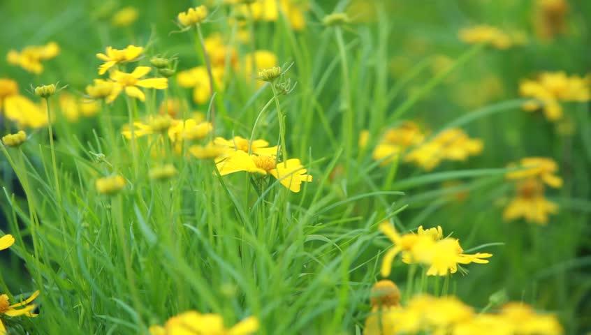 Rudbeckia Flower Hd Stock Footage Clip