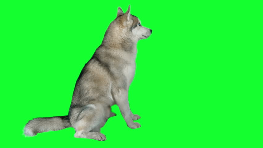 Dog siberian husky. Green screen highly detailed 4K footage. Clean alpha. Shot on black magic camera 4K. #13785053