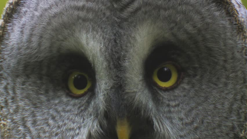 great grey owl - HD stock video clip