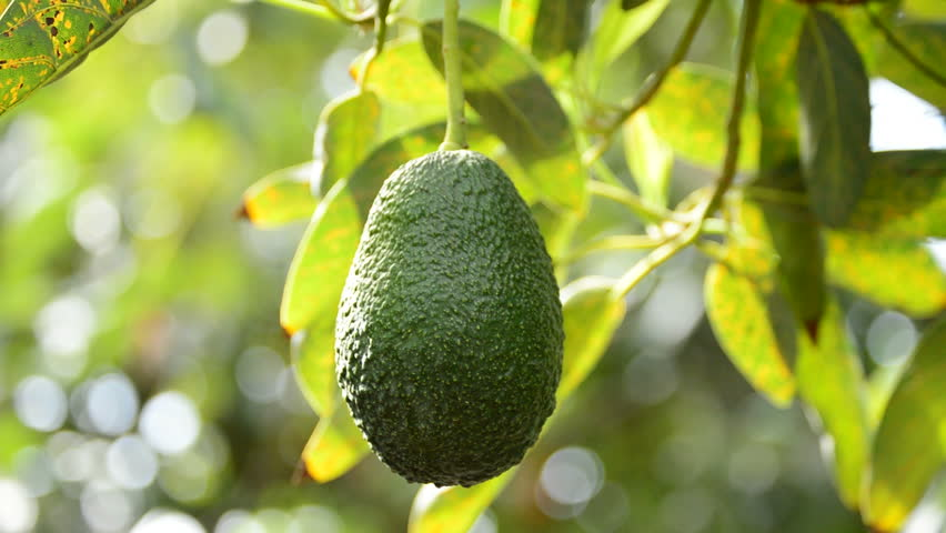 Avocado Fruit Tree Pictures