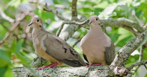 Mourning dove pair sitting on branch.