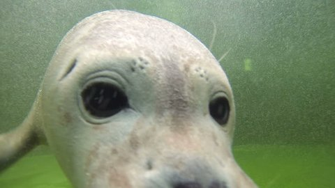 Baby Harbor seal pose for the video camera underwater