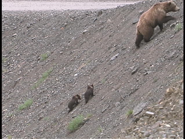 A mother brown bear and cubs walk up a steep embankment and cross the road.