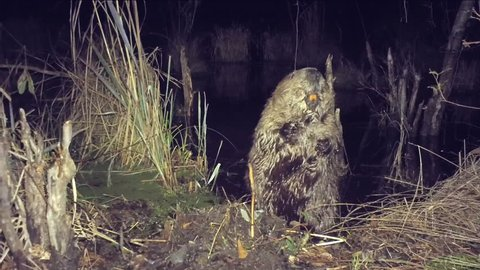 Male North American Beaver (Castor canadensis)  marking his territory on a scent mound, this is territorial behavior to warn off other males. Rare color nighttime footage.