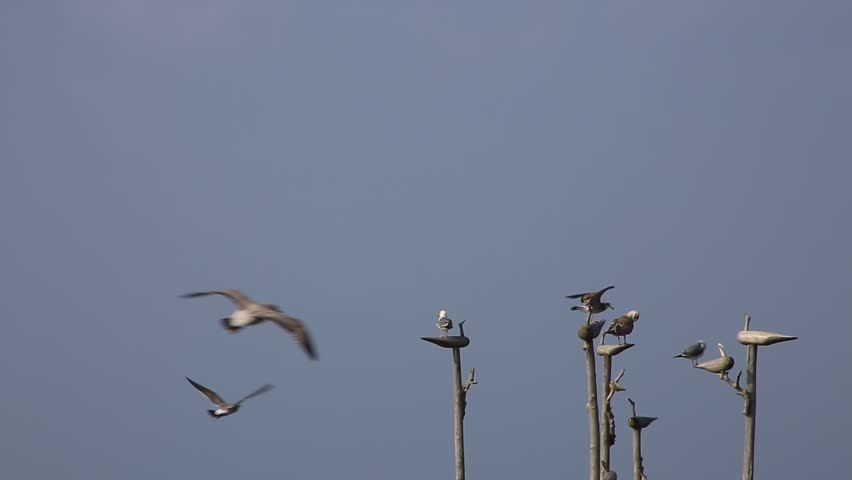 A flock of birds sitting and resting on the sticks around seashore | Shutterstock HD Video #14087813