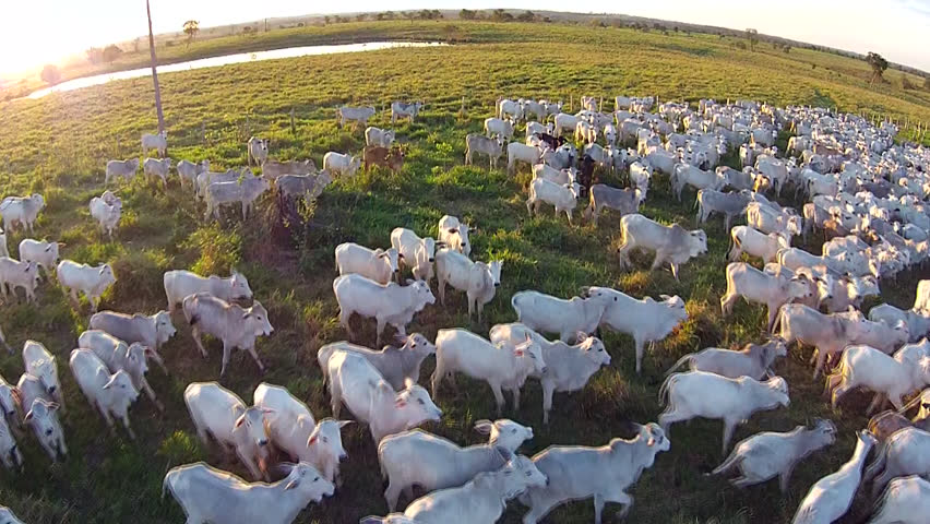 aerial view from brazilian cattle