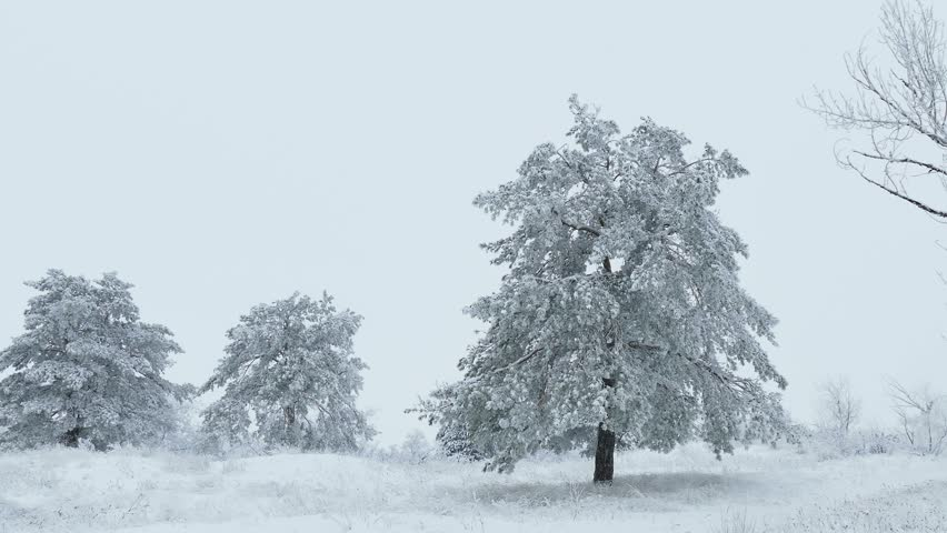fir in snow tree wild forest snowing Christmas winter