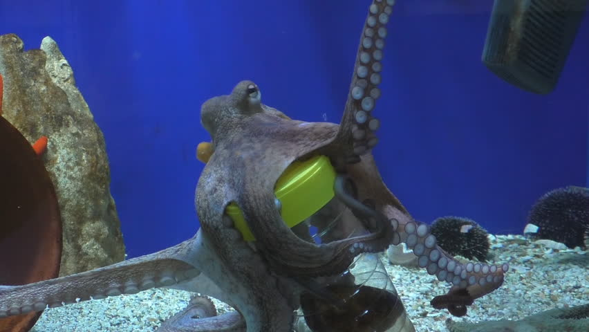 Octopus in aquarium shows it's intelligence by lifting plastic bottle lid and taking out food, the dead fish