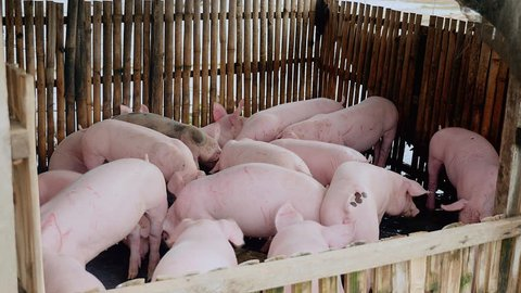 Drift of pigs eating and wading into shallow muddy water inside a pen