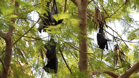 Megabats in Maldives