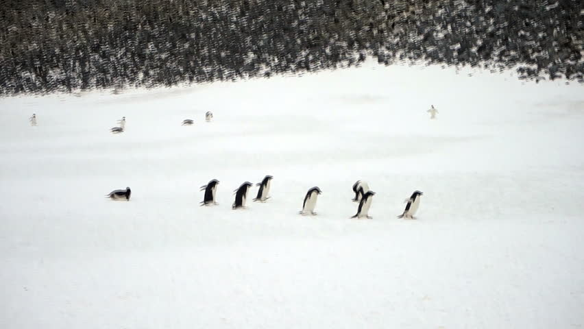Time-lapse of adelie penguins marching and sliding across snow on highway through rookery on Paulet Island, Antarctica.