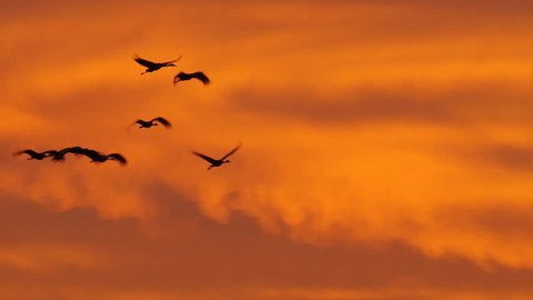 Long tracking shot of sandhill cranes flying through the sky low enough against the orange sky to pass black tree - P1080637