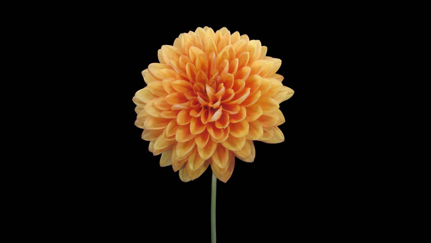 Time-lapse of dying orange dahlia (georgine) flower 10a5 in 4K PNG+ format with ALPHA transparency channel isolated on black background