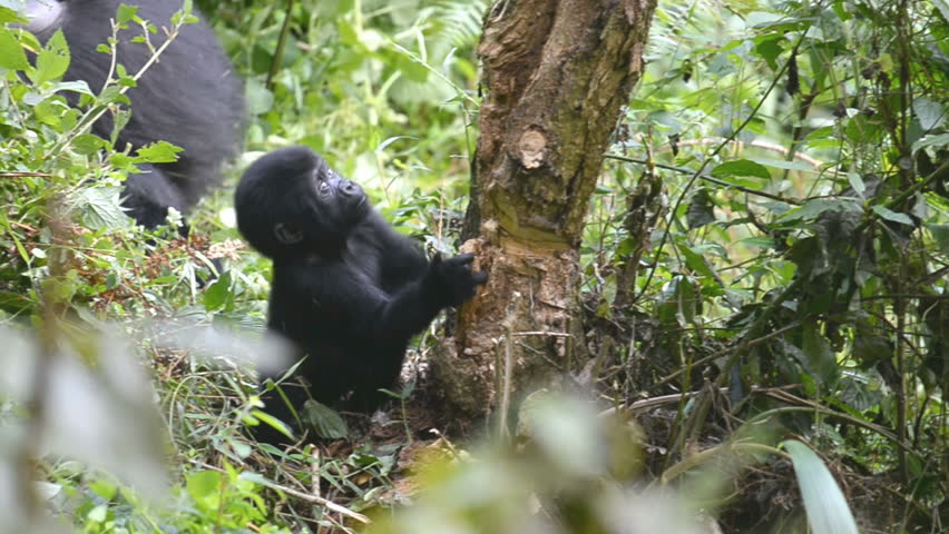 Mountain gorilla in the impenetrable Forest in Uganda, Bwindi National Park, Africa