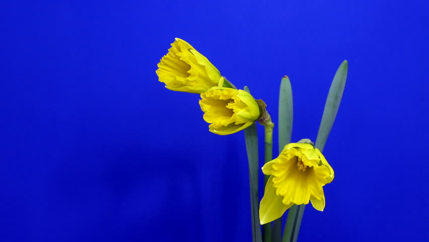 Time-lapse of yellow narcissus flowers opening 1
