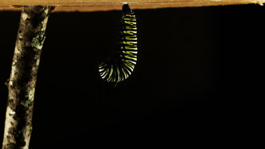 Time lapse of the complete metamorphosis of a monarch butterfly. Caterpillar makes chrysalis and then hatches into a butterfly.
