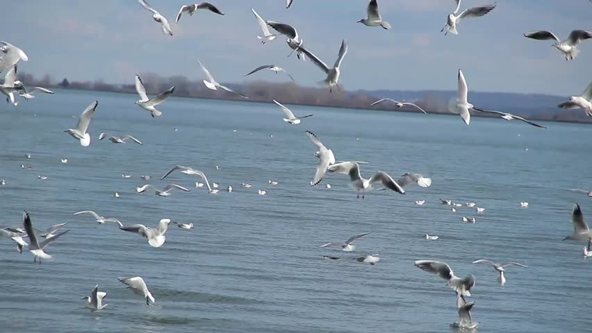 Flocks of ocean sea birds feeding with audio at salinas state river seagulls in large numbers feeding from the surface of the lake varazdin croatia in sciox Image collections