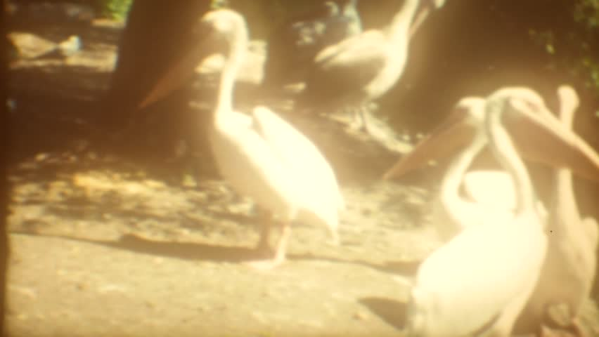 CIRCA 1968: Vintage 8mm film of an animal Zoo