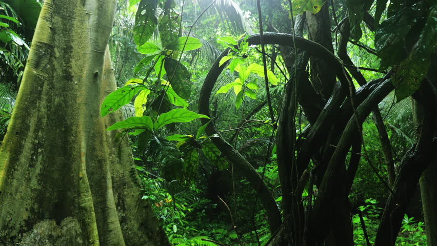 Twisted lianas on wet exotic plants and trees in wilderness of dense rainforest