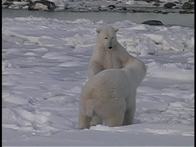 A hand-held shot of two polar bears wresting in the snow in Churchill Alaska.
