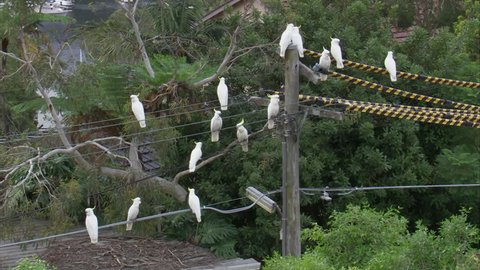 WS Sulphur-crested cockatoo parrots (Cacatua galerita) perching on power lines / Sydney, New South Wales, Australia