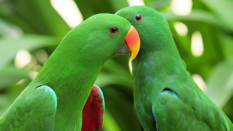 Bird of tropical rainforest large green parrot with orange beak feeds other