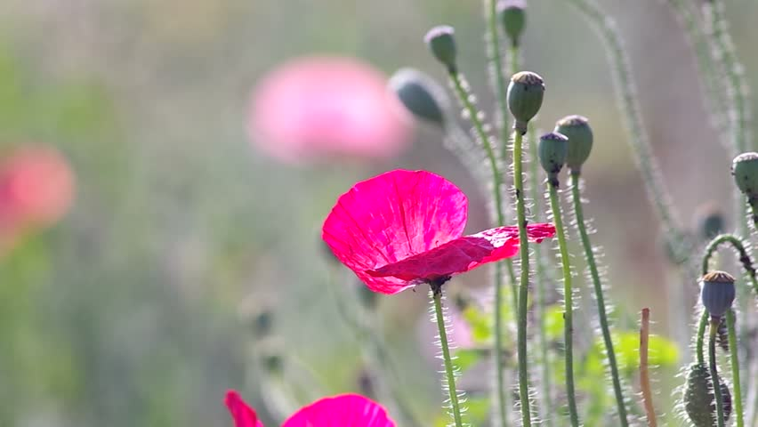 Stock video of pink opium poppy flowers and seed 14485303 stock video of pink opium poppy flowers and seed 14485303 shutterstock mightylinksfo