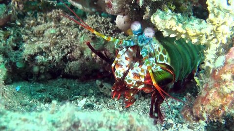 Colorful Peacock Mantis shrimp - best eyes of all living creatures